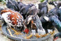 6 Cara Budidaya Ayam Kampung Bagi Pemula 100% Berhasil