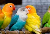 4 Cara Ternak Burung Lovebird Mulai Dari Nol (Panduan Lengkap)