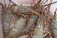 Makanan Lobster Air Tawar