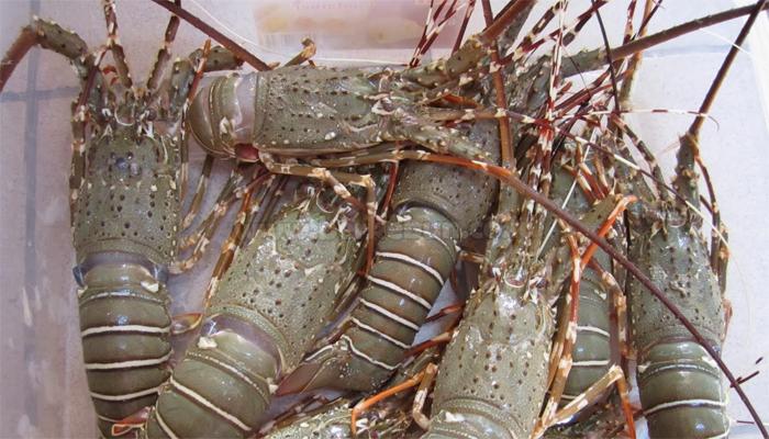 7 Cara Budidaya Lobster Air Tawar Dengan Mudah (Panduan Lengkap)