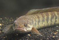7 Cara Budidaya Ikan Gabus Bagi Pemula Mudah (Panduan Lengkap)