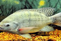 √ 5 Cara Budidaya Ikan Nila Bagi Pemula 100 % Berhasil
