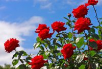 5 Cara Menanam Bunga Mawar Mudah (Panduan Lengkap)