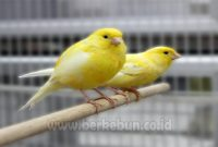 Cara Ternak Burung Kenari 100% sukses (Panduan Lengkap)