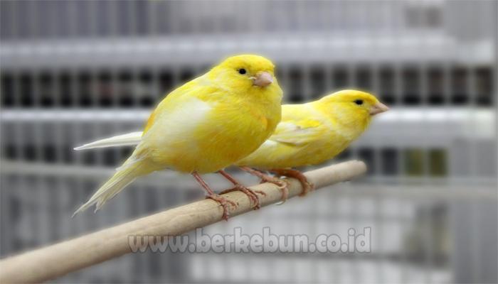 Cara Ternak Burung Kenari 100 Sukses Panduan Lengkap