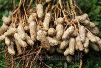 √ Cara Menanam Kacang Tanah 100% Berhasil (Panduan Lengkap)