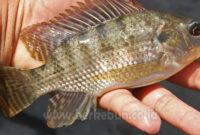 √ Jenis Penyakit Yang Sering Menyerang Ikan Nila (Bahas Tuntas)