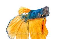 beberapa jenis-jenis ikan cupang (bahas lengkap)