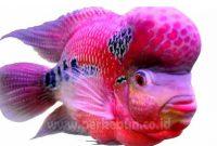 Ilmu Cara Merawat Ikan Louhan (Panduan Lengkap)