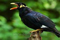 Tips Cara Memberi makan Burung Beo (Panduan Lengkap)