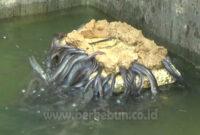 √ Cara Budidaya Ikan Sidat 100% Berhasil (Panduan Lengkap)