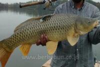 √ Cara Membuat Umpan Ikan Mas Untuk Memancing (Panduan Lengkap)