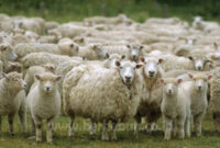 √ Cara Ternak Domba Yang Baik dan Benar (Panduan Lengkap)