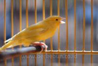 √ Cara Melatih Suara Kenari Agar Keras dan Panjang (Panduan Lengkap)