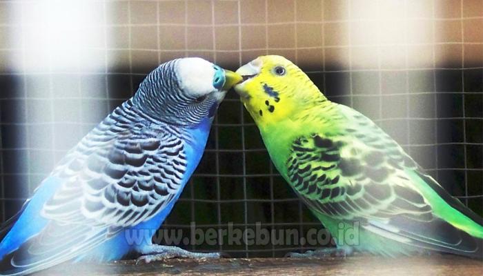 Cara Ternak Burung Parkit Untuk Pemula Sukses