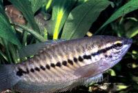 Budidaya Ikan Sepat Siam Yang Menguntungkan Dijadikan Ikan Asin