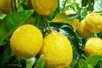 Cara Menanam Lemon Panduan Lengkap (Berkebun)