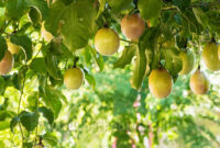 Cara Menanam Markisa Menurut Ilmu Pertanian (Berkebun)