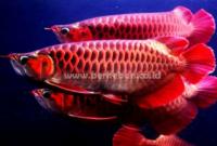Budidaya Ikan Arwana : Ph Air, Temperatur Air, Pemilihan Jenis Ikan, Pemeliharaan dan Cara Mengembangbiakkannya