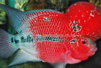 Budidaya Ikan Louhan : Pemilihan Induk, Pemijahan, Pemeliharaan dan Pemanenan
