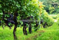 Cara Berkebun Anggur : Pembibitan, Penanaman, Pemeliharaan dan Pemanenan