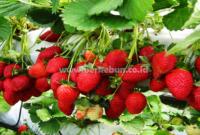 Cara Menanam Strawberry : Pembibitan, Penanaman, Perawatan dan Pemanenan