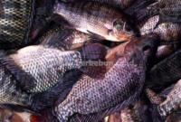 Cara Pembudidayaan Ikan Nila : Persiapan Kolam, Pembenihan, Perawatan dan Proses Panen