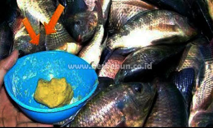 Umpan Ikan Nila 9 Jenis Umpan Jitu Yang Biasa Di Gun