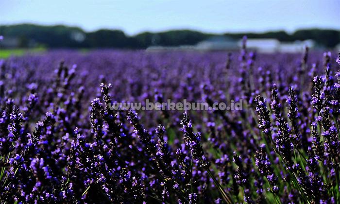 Langkah Sukses Cara Budidaya Bunga Lavender