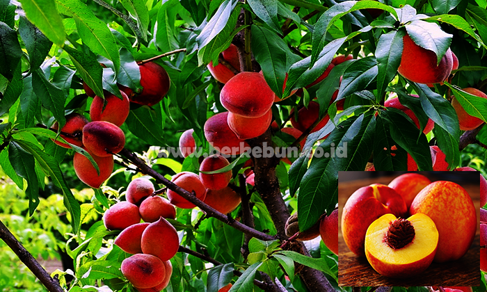 Health Benefits of Peaches That Are Important to Know