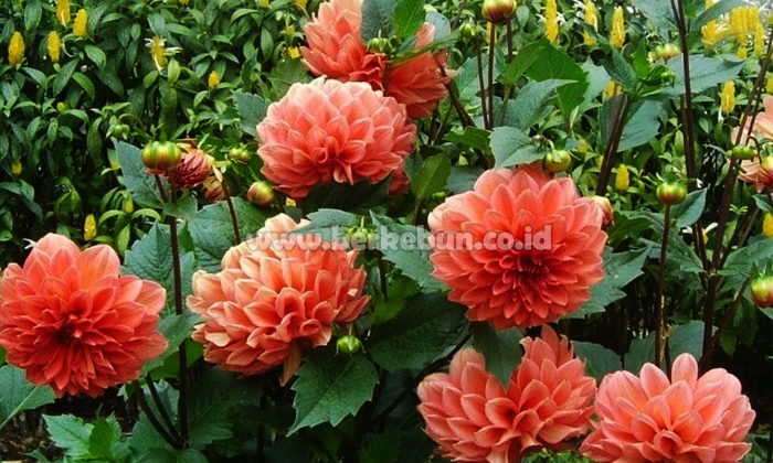 Cara Merawat Bunga Dahlia Agar Selalu Berbunga